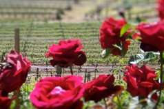 A Springtime Palette of the Sonoma County Wine Country by Wanderlust Designer