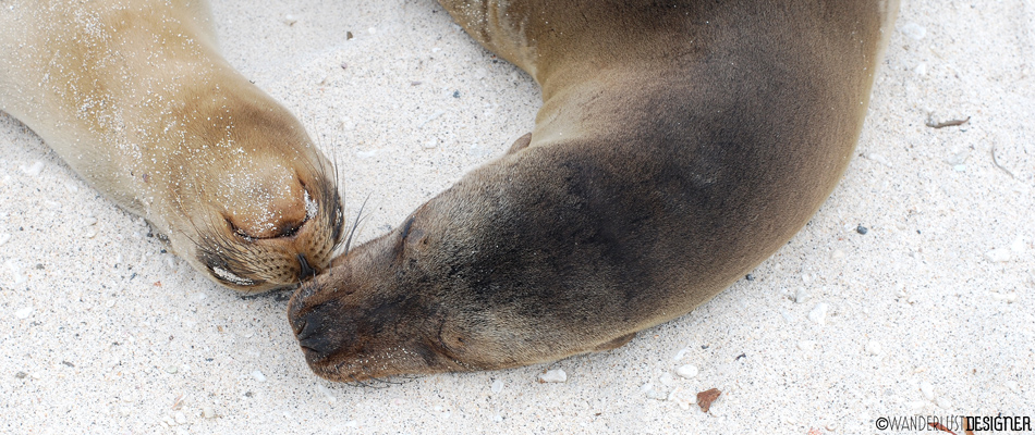 The Playful Personality of the Galapagos Sea Lion by Wanderlust Designer